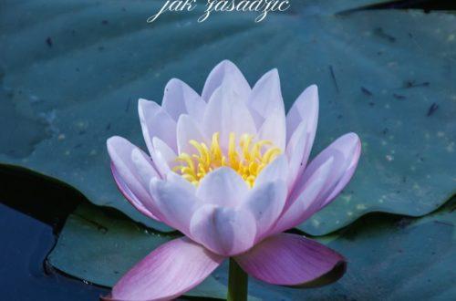 jak zasadzić lilie wodne